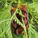 red-winged moth - Hemileuca eglanterina - male - female