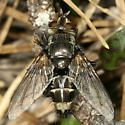 fly - Tachinomyia