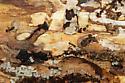 ants under damp log bark - Aphaenogaster picea