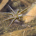 Spider on pond algae - Dolomedes triton