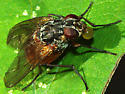 Muscid Fly blowing bubble - female