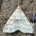 Light-colored Moth - Renia discoloralis