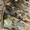 Bright flashing firefly - Photuris - male