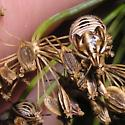 More trichopepla nymphs? - Trichopepla