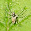 Dark-headed spider