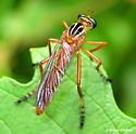 Diogmites neoternatus - female