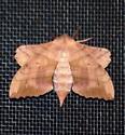 Amorpha juglandis - female