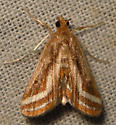 floating-heart waterlily moth - Parapoynx seminealis