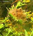 Green lynx spider - Peucetia viridans - female
