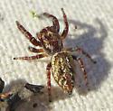 Phanias cf. albeolus - Phanias albeolus - female