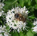 Another denizen of the Intervale - Eristalis - female