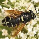 Wings open - Stratiomys badia - female