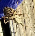 Corolla bug - Arilus cristatus