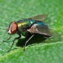 Blow fly - Lucilia coeruleiviridis