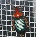 Carabidae - Lebia