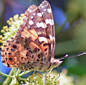 Butterfly - Vanessa cardui