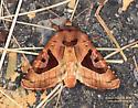 Conservula anodonta  - Conservula anodonta