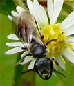 Black Bee - Lasioglossum coriaceum