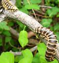 Millipede seen on May 18, 2014 in Warren County, NJ - Apheloria virginiensis