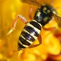 Amber winged nomada on Coreopsis lanceolata - Nomada vegana