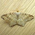 Geometridae: Common Angle (Macaria aemulataria) - Macaria aemulataria