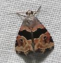 Cobubatha Moth1 - Cobubatha n-sp