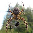 Cross Orbweaver, Araneus diadematus - Araneus diadematus - female