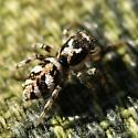 Zebra jumping spider - Salticus scenicus - female