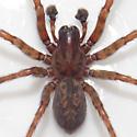 spider - Coras