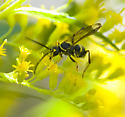 Which wasp please? - Ceropales maculata