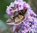 Was on my butterfly bush today. - Anagrapha falcifera