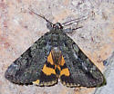 Catocala - Catocala micronympha