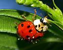 What type of ladybug is this? - Harmonia axyridis