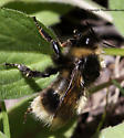 Bee - Bombus occidentalis