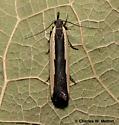 Moth - Dichomeris barnesiella