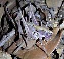 Shield backed katydid - Eremopedes balli - female
