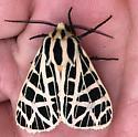 ?Tiger moth - Apantesis