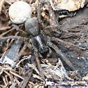 Wolf Spider - Tigrosa - female