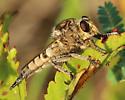 Promachus sp. - Promachus - female