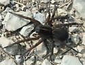 Wolf spider Sep 20 - Tigrosa helluo
