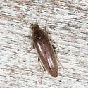 click beetle - Synchroa punctata