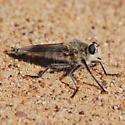 Dune robber fly