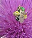 Green Metallic Bee - Halictid bee - Agapostemon? - Agapostemon virescens - female