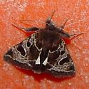 Patterned Moth with white eyespot - Heliothis belladonna