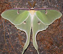 luna moth - Actias luna - male
