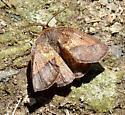 Yellow-washed Metarranthis - Metarranthis obfirmaria - male