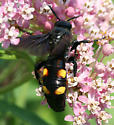Scoliid wasp, a large black wasp with four yellow spots - Pygodasis quadrimaculata