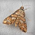 Hileithia - Hileithia magualis