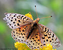 4389 Fritillary sp - dorsal - Speyeria