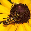 Flower Longhorn - Typocerus octonotatus